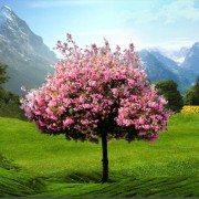 Сакура Живые Обои – красивое дерево на заставке Sony Xperia